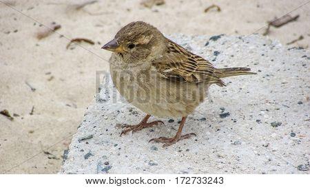 Cute sparrow looking beach wildlife, nature, animal, fauna