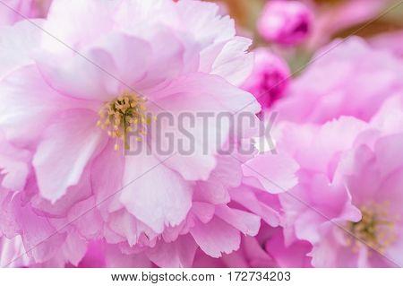 Close up of pink Kwanzan Cherry flowers.