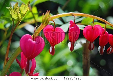 Beautiful Dicentra Flower
