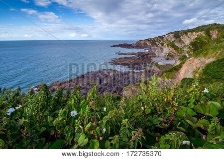 North Devon Coast near Hele Bay. During low tide. Thickets of grass in the foreground. UK