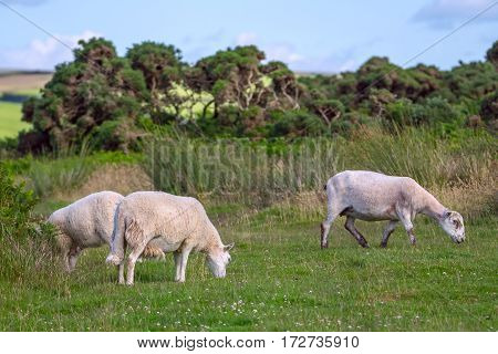 Sheep grazing in the meadows of the northern coast of Devonshire. Farmland in Exmoor. UK