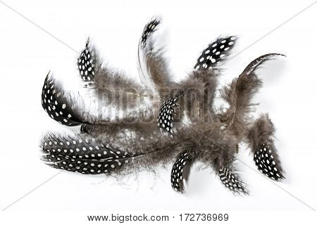 Black White Spotted Guine Fowl Feathers On White