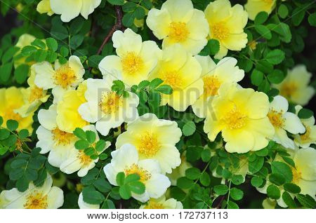 Golden Rose Of China (rosa Hugonis)