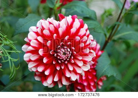 Beautiful Dahlia Flower