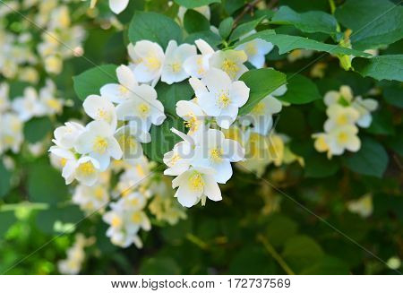 Beautiful Jasmine Flower
