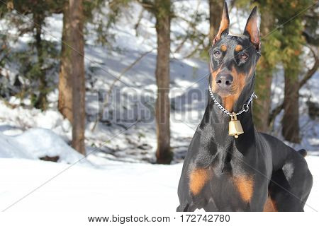 Portrait of the Doberman pinscher. At a snow-covered mountain.