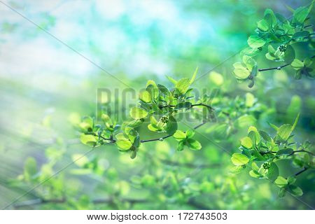 Fresh spring leaves - young spring leaves in forest lit by sun rays