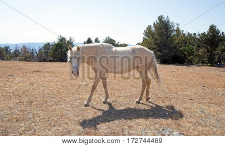 Palomino Mare Mustang on Tillett Ridge in the Pryor Mountain Wild Horse Range on the Wyoming Montana border - USA