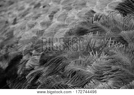 A background of the feathers of an ostrich
