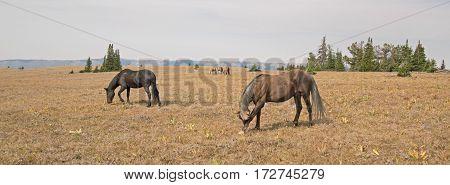 Band of Wild Horses feeding on Sykes Ridge in the Pryor Mountains in Montana USA