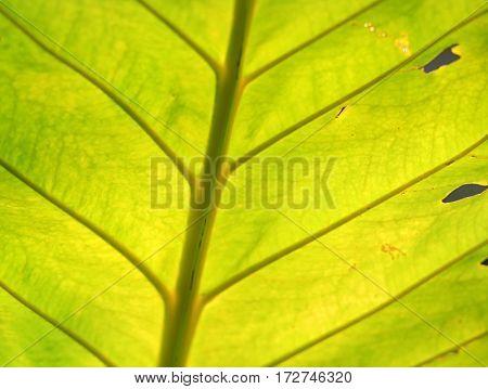 Backlit bright green leaf background