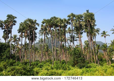 Palm trees in coastal state of Andhra Pradesh in India