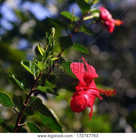 Red Hibiscus Flowers Blooming At Sunny Day