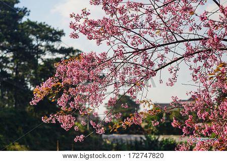 Cherry Blossom At The Springtime