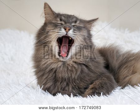 Luxury cat yawns widely. White plaid. Gray cat furry