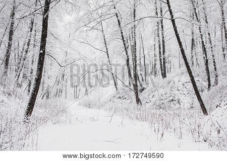 Fairy winter forest in the snow. Winter time. Heavy snowfall. Trees in the snow. Beautiful landscape. The trunks and branches of trees in winter.