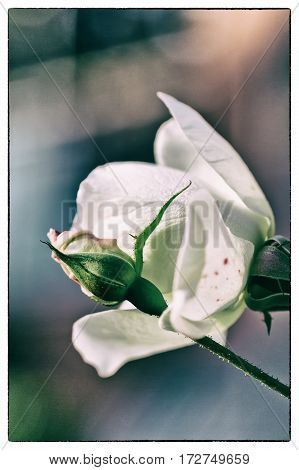 Peach colored rose bud with green leaves with de-focused white rose flower bloom on a coloured background very shallow focus
