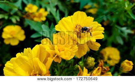 Yellow flower background yellow and bee .