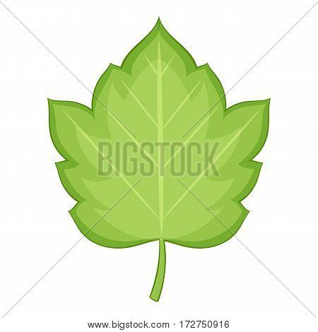Hawthorn leaf icon. Cartoon illustration of hawthorn leaf vector icon for web