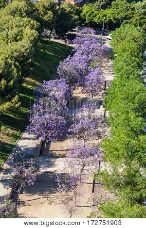 Alley in the Park with richly blossoming purple tree
