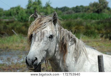 White horse of Camargue on Provence, France