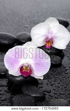 black stones and red two white orchid-wet background
