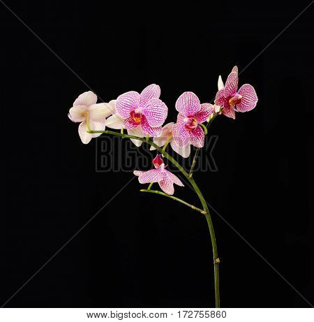 Beautiful orchids isolated on black background.