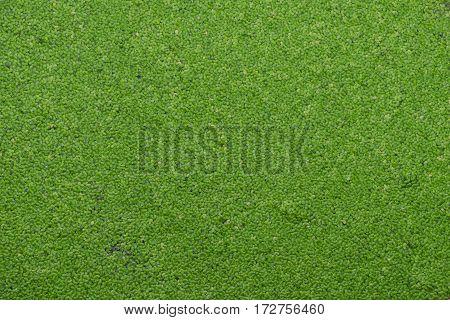 Green Water Fern Plants Dense In Water Background