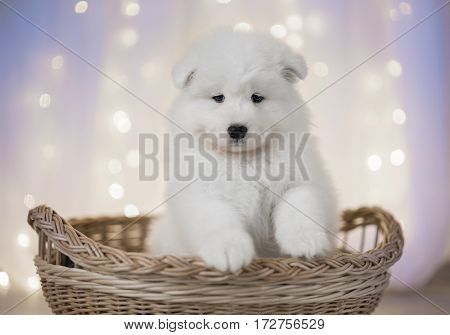 Samoyed puppy on a background of LED lights for the basket