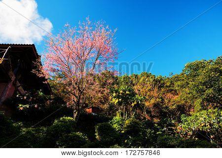 Pink Blossom Sakura In Park, Chiang Rai