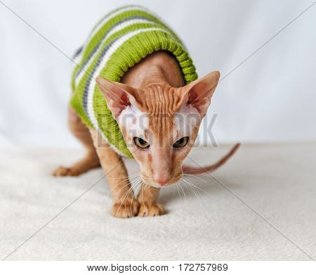 Cat breeds Pererbold in a green striped sweater