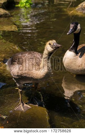 Close-up of a Canada Goose (Branta canadensis) at the lake. Young Canada Goose. Water Birds. Animals in the wild. Canada Geese