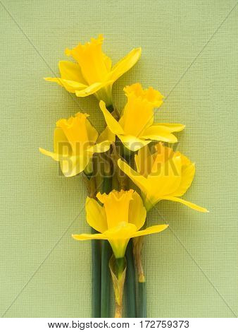 Closeup of five fresh yellow Jersey Pride daffodils lying on soft pale green textured background.