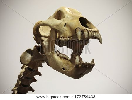 A Cave Bear Neck and Skull Ursus spelaeus Against a White Background