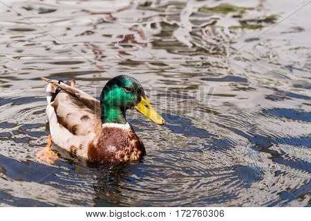 Close-up of a duck. Mallard ducks. Ducks