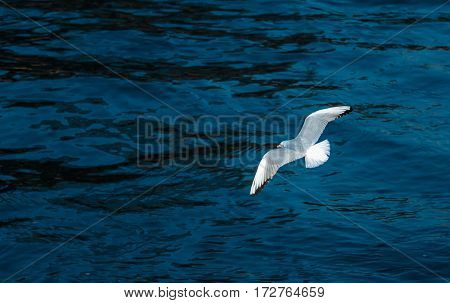 Soaring large gull in search of food on the river