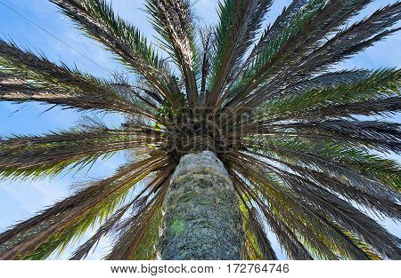 underside view of a tropical palm tree with blue sky