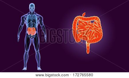 3d rendered anatomy illustration of a human colon