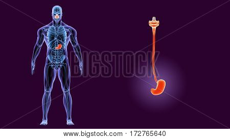 3d illustration human body Stomach Anatomy of a human body part