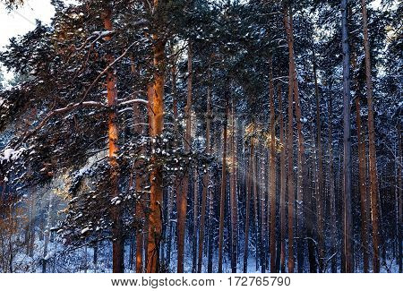 Winter morning sun rays in the frozen forest.