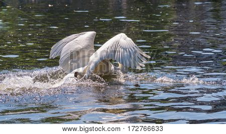 Graceful swan with outspread wings. Swans at the lake