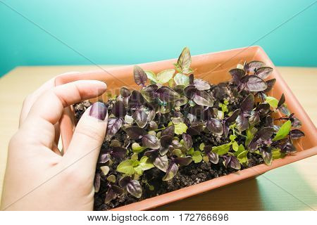 the hand holding Basil sprouts in brown pots on a turquoise background