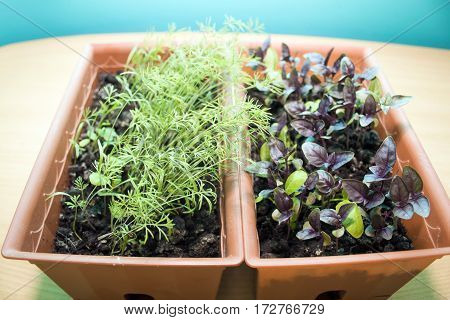 sprouts of Basil and dill in the brown pots on a turquoise background fish-eye