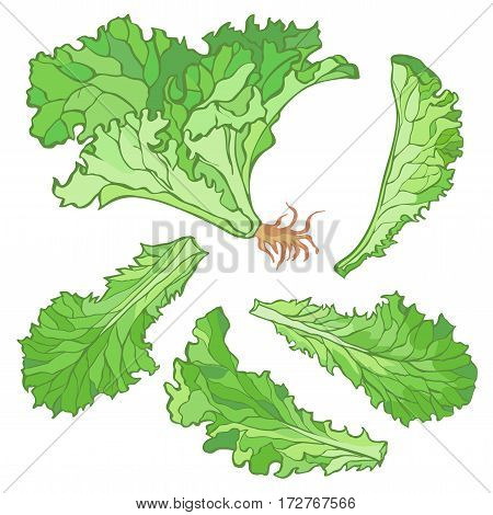 Vector illustration a set of lettuce leaves without gradients