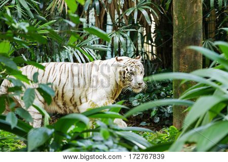 Relaxing big white bengal tiger in Singapore.