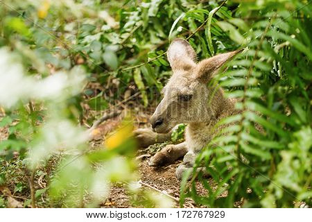 Relaxing wallaby. Natural background with kangaroo in sunny day. Singapore