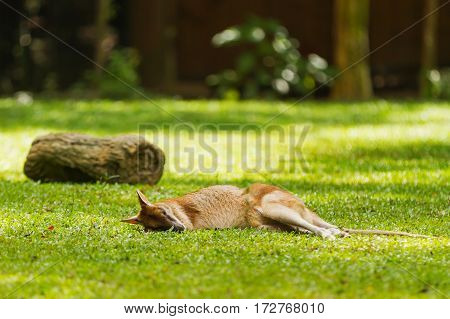 Relaxing wallaby. Natural background with sleeping kangaroo in sunny day. Singapore