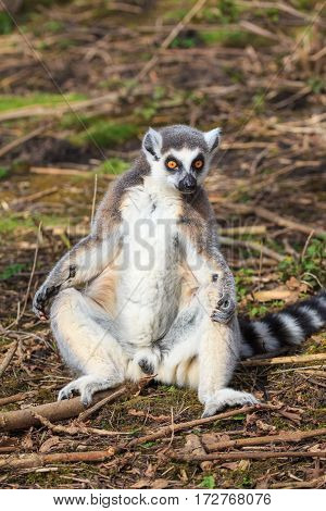 A male ring-tailed lemur, Lemur catta, enjoying the sun