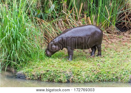 The young behemoth (Hippopotamus amphibius) on the green grass in the Casela Park Mauritius