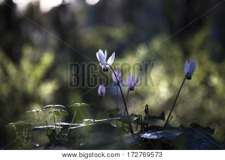 White and purple cyclamen flowerbed with sunset green bokeh outdoors